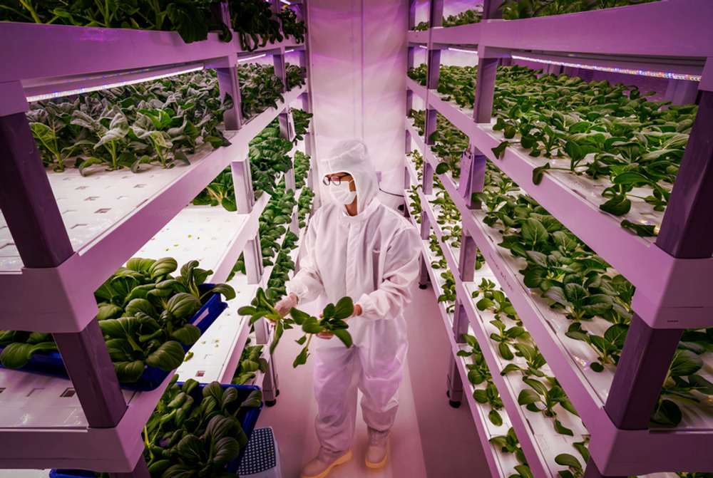 A photograph of a vertical farm growing lettuce. A worker in a white plastic suit stands between two rows of tall shelves; on each shelf is hundreds of growing lettuce plants. The entire farm is awash with a purple light.