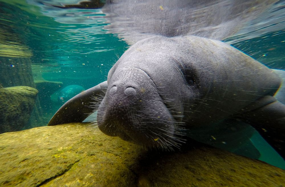 A manatee swims in a recovery pool