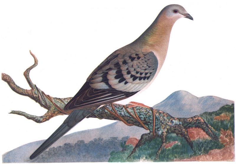 Passenger pigeon illustration